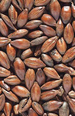 Chocolate 900-1100 EBC Crisp 1 kg