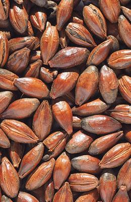 Low Colour Chocolate Malt 440-660 EBC Crisp 0,2 kg